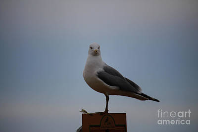 Photograph - Herring Gull  by Jamie Haley