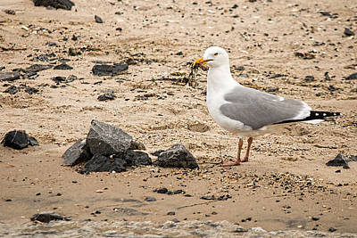 Photograph - Herring Gull On The Beach by Kristia Adams