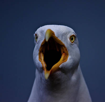 Herring Gull Screaming Original