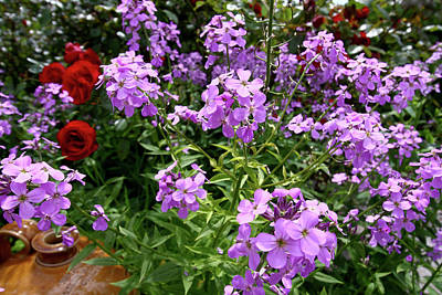 Photograph - Hesperis Matronalis by Aidan Moran