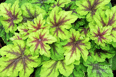 Photograph - Heucherella Art Nouveau Leaves by Tim Gainey