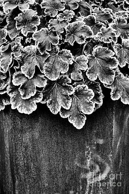 Heucherella Solar Eclipse Monochrome Art Print