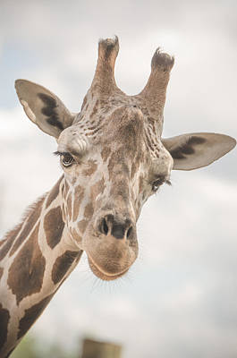 Photograph - Hi There, I'm A Giraffe by David Collins