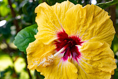 Photograph - Hibiscus 1 by Martin Naugher