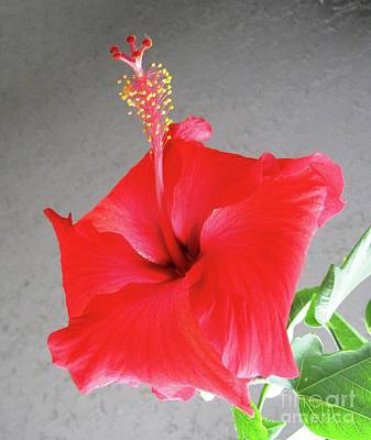 Photograph - Hibiscus #2 by Cindy Schneider