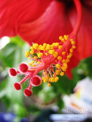 Photograph - Hibiscus #3 by Cindy Schneider