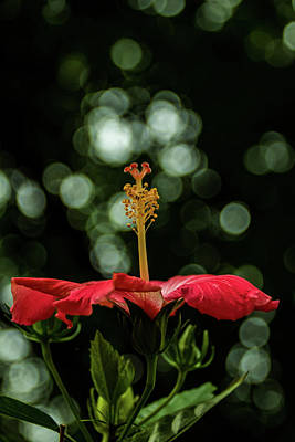 Photograph - Hibiscus 3 by Jay Stockhaus