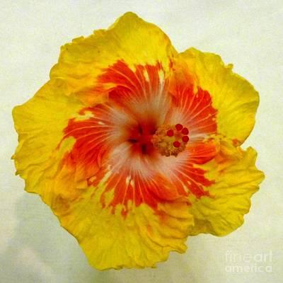 Photograph - Hibiscus 6 by Barbie Corbett-Newmin