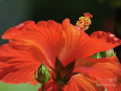 Photograph - Hibiscus And Bud by Jean Wright