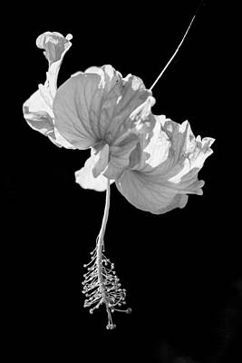 Photograph - Hibiscus As Art 1 by Hitendra SINKAR
