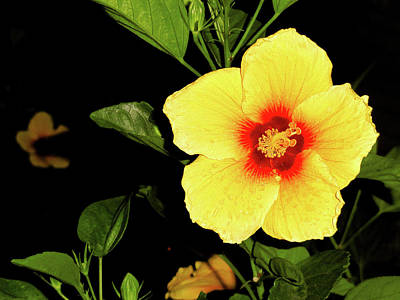 Hibiscus At Dusk Art Print by Robert Meyers-Lussier