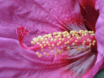 Photograph - Hibiscus - Berry Awesome 02 by Pamela Critchlow