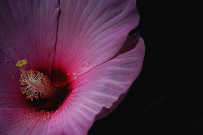 Hibiscus Bloom And Pollen Art Print by Martin Morehead