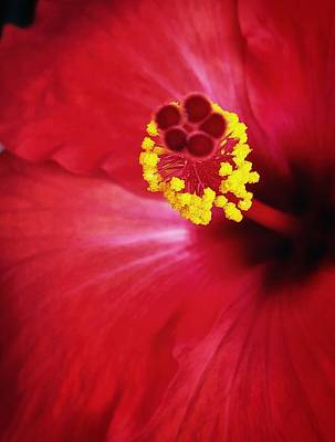 Photograph - Hibiscus Bloom by Steph Gabler