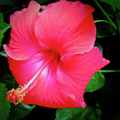 Photograph - Hibiscus Blossom by Tony Grider