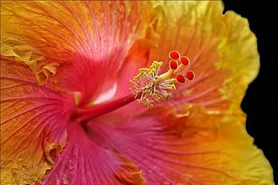 Lamberton Conservatory Photograph - Hibiscus by Carol Deltoro