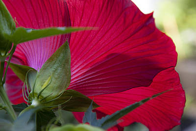 Photograph - Hibiscus by Charles Harden