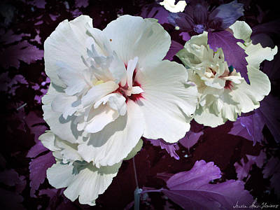 Photograph - Hibiscus - Circa 2006 Saratoga, Ny by Iowan Stone-Flowers