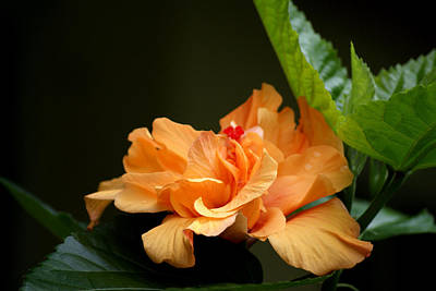 Photograph - Hibiscus by Debi Demetrion