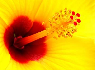 Photograph - Hibiscus Detail 2 by John Hintz