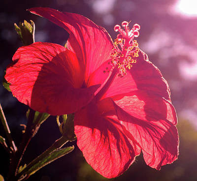 Photograph - Hibiscus During Sunset by Andrea Mazzocchetti
