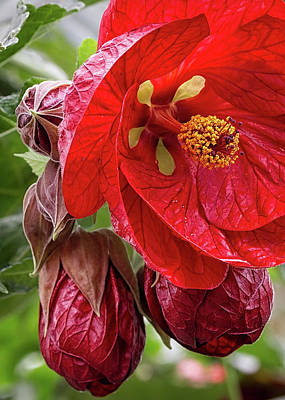 Photograph - Hibiscus Flower And Buds by Shirley Mitchell