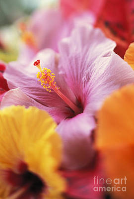 Photograph - Hibiscus Flower Arrangement by Kyle Rothenborg - Printscapes