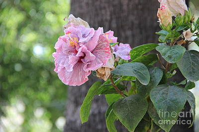 Photograph - Hibiscus Flowers by Jackie Mestrom