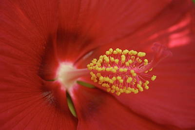 Photograph - Hibiscus  by Gini Moore