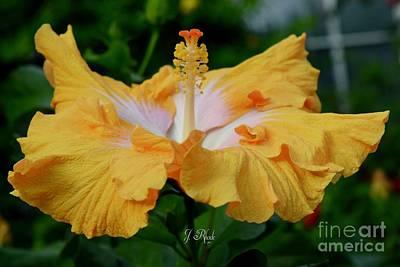 Hibiscus Golden Mist Art Print