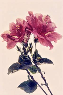 Photograph - Hibiscus Heaven by Leda Robertson