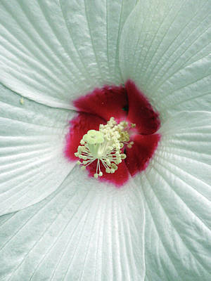 Photograph - Hibiscus - Honeymoon White With Eye 05 by Pamela Critchlow