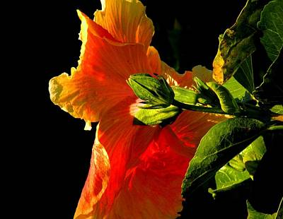 Hibiscus In The Light Art Print by Rosalie Scanlon