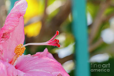 Photograph - Hibiscus by Les Greenwood
