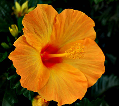 Photograph - Hibiscus by Marilynne Bull
