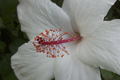Angels And Cherubs - Hibiscus by Michael Peychich