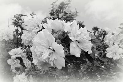 Photograph - Hibiscus Mutabilis - Bw by Beth Vincent