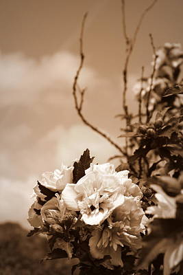 Photograph - Hibiscus Mutabilis - Sepia by Beth Vincent