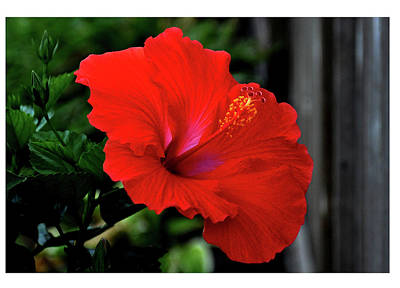 Photograph - Hibiscus Number One by David Hamilton