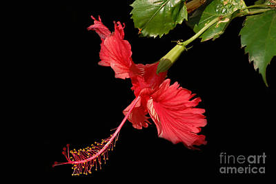 Hibiscus On Black Background Art Print by Charuhas Images