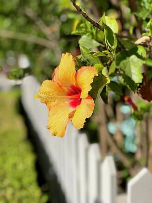 Photograph - Hibiscus On The Fence Line   by Brian Eberly