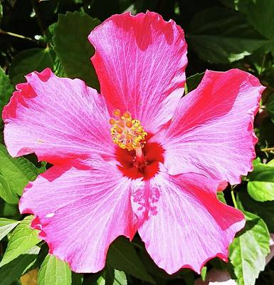 Photograph - Hibiscus Pink Lady Brush Stroke By Mother Nature 2 by Deborah Lacoste