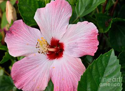 Photograph - Hibiscus by Renee Olson