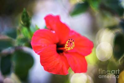 Photograph - Hibiscus Rosa Sinensis Genoves Park Cadiz Spain by Pablo Avanzini