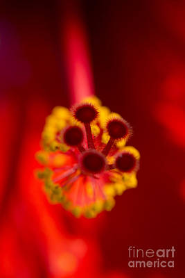 Photograph - Hibiscus Rosa Sinensis Heart Of A Red Hibiscus Flower by Sharon Mau