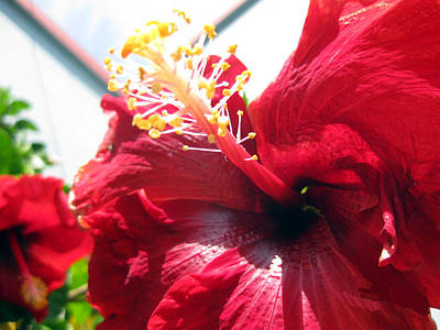 Photograph - Hibiscus Shining Upward by Sarah Hornsby
