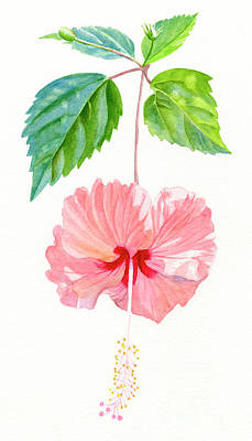 Peach Colors Painting - Hibiscus Sprinkle Rain, Rosa Sinensis by Sharon Freeman