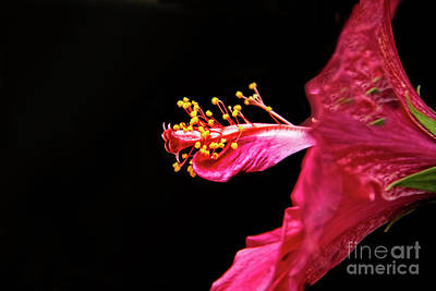 Photograph - Hibiscus Stamens by Robert Bales