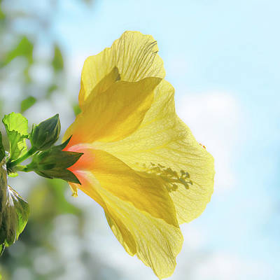 Photograph - Hibiscus Sunshine by David Lawson