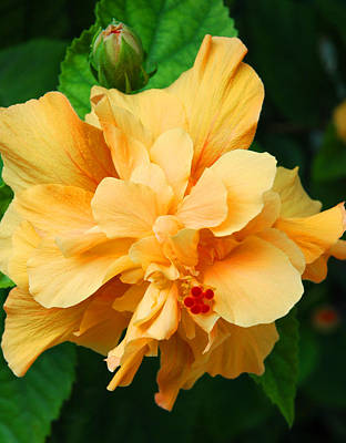 Yellow Photograph - Hibiscus by Susanne Van Hulst